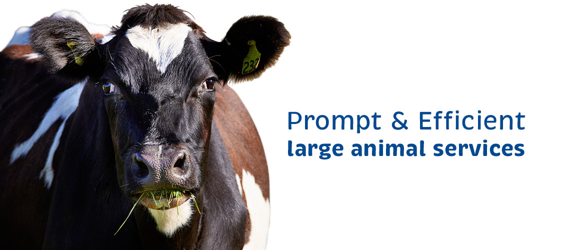 Vetcare Kaikoura large animal services dairy cow