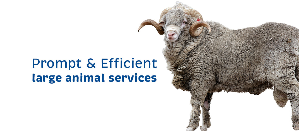 Vetcare Kaikoura large animal services sheep