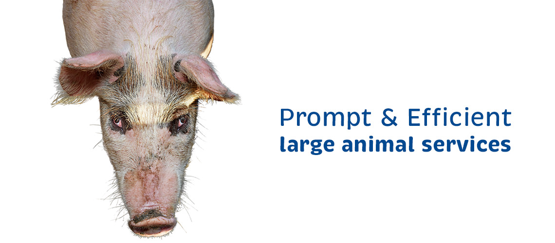 Vetcare Kaikoura large animal services pig