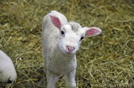 pre-lamb vaccination