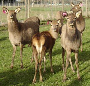 yersinia deer